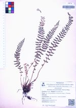 Woodsia polystichoides (Hance) Kitag.