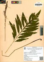 Onoclea sensibilis L.