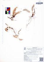Polystichum craspedosorum (Maxim.) Diels