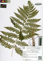 Matteuccia orientalis (Hook.) Trev.