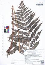 Lunathyrium pterorachis (Christ) Kurata