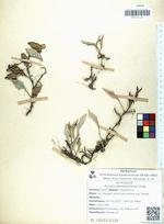 Pyrrosia petiolosa (Christ) Ching