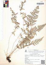 Cystopteris fragilis (L.) Bernh.