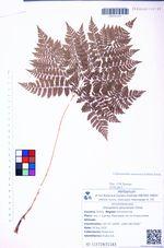 Dryopteris amurensis Christ