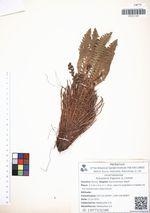 Dryopteris fragrans (L.) Schott