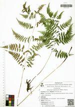 Athyrium niponicum (Mett.) Hance