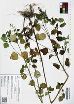 Salvia tiliifolia Vahl