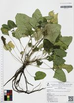 Salvia algeriensis Desf.