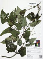 Salvia transsylvanica (Schur ex Griseb. & Schenk) Schur