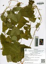 Aristolochia contorta Bunge