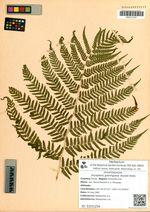 Dryopteris goeringiana (Kunze) Koidz.