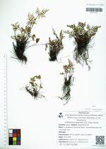 Cheilanthes argentea (S.G. Gmel.) Kunze