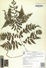 Cornopteris crenulatoserrulata (Makino) Nakai