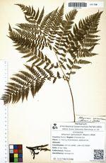 Athyrium spinulosum (Maxim.) Milde