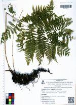 Diplazium sibiricum (Turcz. ex Kunze) Sa. Kurata