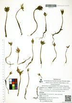 Botrychium lanceolatum (S.G. Gmel.) Ångström