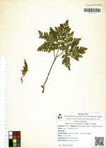 Botrychium robustum (Rupr.) Underw.
