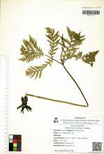 Botrychium strictum Underw.