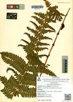 Osmunda claytoniana L.