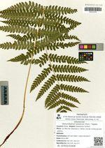 Osmundastrum asiaticum (Fern.)  Tagawa