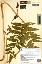 Osmunda japonica Thunb.
