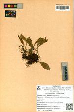 Pyrrosia lingua (Thunb.) Farw.