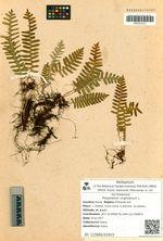 Polypodium virginianum L.
