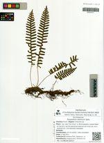 Polypodium sibiricum Sipliv.