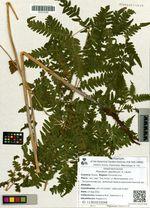 Pteridium aquilinum (L.) Kuhn