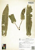 Phyllitis japonica Kom.