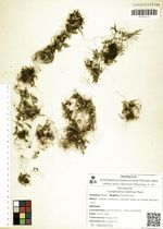 Camptosorus sibiricus Rupr.