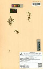 Asplenium tenuicaule Hayata