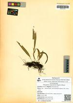 Pleopeltis ussuriensis Regel & Maack