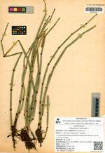 Equisetum hyemale L.