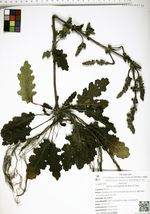 Salvia cleitogama De Bary et Paul