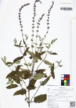 Salvia deserta Schangin