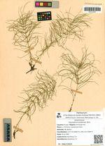 Equisetum pratense Ehrh.