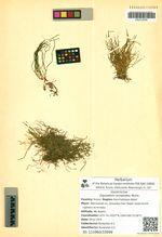 Equisetum scirpoides Michx.