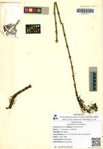 Equisetum fluviatile L.