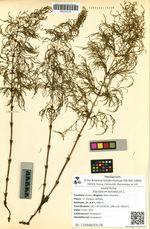 Equisetum sylvaticum L.