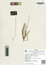 Equisetum variegatum Schleich. ex F. Weber & D. Mohr