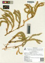 Lycopodium annotinum L.