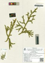 Lycopodium lagopus (Laestadius ex C. Hartman) G. Zinserling ex Kuzeneva-Prochorova