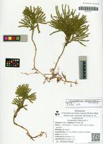 Lycopodium obscurum L.