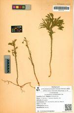 Lycopodium juniperoides Sw.