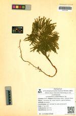 Lycopodium juniperoideum Sw.