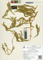 Lycopodium dubium Zoëga