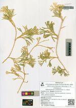 Diphasiastrum complanatum (L.) Holub