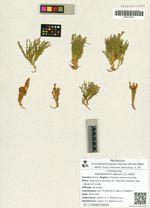 Diphasiastrum alpinum (L.) Holub