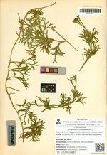 Lycopodium complanatum L.